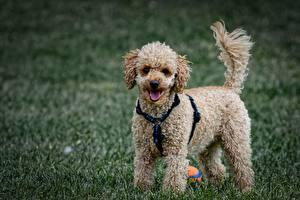 Fotos Hunde Gras Blick Pudel Unscharfer Hintergrund Tiere