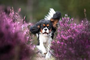 Pictures Dog King Charles Spaniel Run Animals