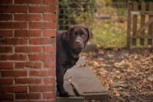 Image Dogs Labrador Retriever Walls Made of bricks Glance animal