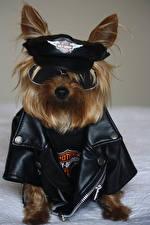 Fondos de escritorio Perros El ropa Yorkshire terrier Uniforme Policía Gafas Animales Animalia