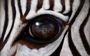 Pictures Eyes Zebras Leopards Closeup Reflection animal