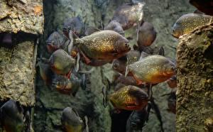 Fonds d'écran Poisson Piranhas