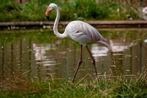Hintergrundbilder Flamingos Gras Bokeh Tiere
