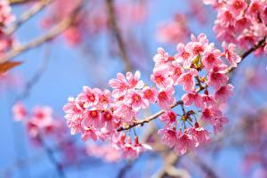 Wallpaper Flowering trees Closeup Branches Sakura Pink color flower