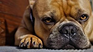 Wallpaper French Bulldog Closeup Eyes Glance Paws Snout animal