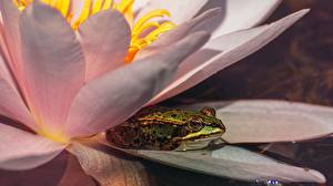 Hintergrundbilder Frosche Lilien Tiere