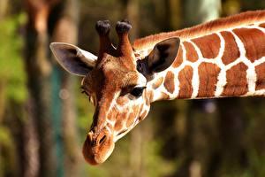 Hintergrundbilder Giraffe Nahaufnahme Kopf Schnauze Tiere