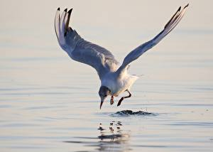 Sfondi desktop Gabbiani Uccelli Acqua