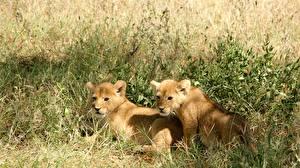 Bilder Löwe Babys Gras Zwei