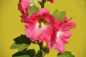 Fotos Malven Hautnah Farbigen hintergrund Rosa Farbe Blüte Blumen