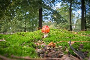 Pictures Mushrooms nature Amanita Blurred background Moss