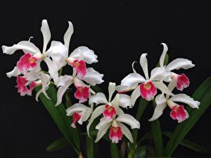 Hintergrundbilder Orchideen Hautnah Schwarzer Hintergrund Weiß Blüte