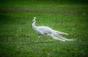 Hintergrundbilder Pfauen Vogel Weiß Gras Tiere