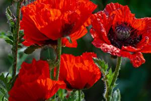 Hintergrundbilder Mohnblumen Hautnah Rot Blumen