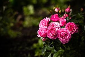 Bakgrunnsbilder Roser Bokeh Busker blomst