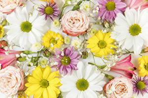 Hintergrundbilder Rosen Chrysanthemen Inkalilien