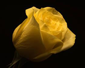 Hintergrundbilder Rosen Nahaufnahme Schwarzer Hintergrund Gelb Blüte