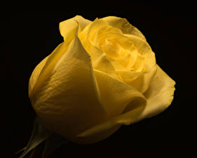 Images Roses Closeup Black background Yellow flower