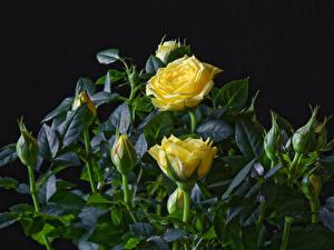 Hintergrundbilder Rose Nahaufnahme Schwarzer Hintergrund Gelb Knospe Blüte