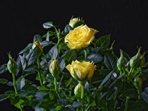 Pictures Rose Closeup Black background Yellow Flower-bud flower