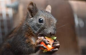 Bilder Eichhörnchen Nagetiere Großansicht Schnurrhaare Vibrisse Blick Bokeh Tiere