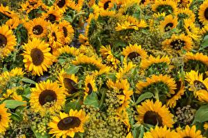 Bilder Sonnenblumen Viel