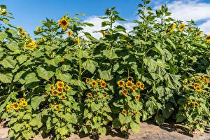 Fotos Sonnenblumen Viel Blatt Natur