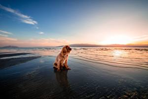 Hintergrundbilder Morgendämmerung und Sonnenuntergang Hund Ingwer farbe Sitzend Spaniel ein Tier