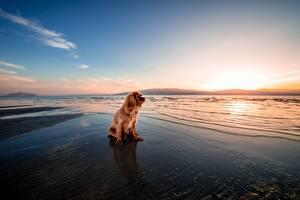 Hintergrundbilder Morgendämmerung und Sonnenuntergang Hund Ingwer farbe Sitzend Spaniel