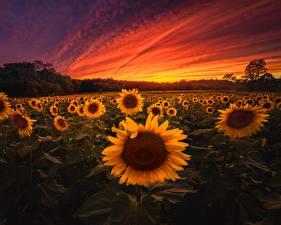 Hintergrundbilder Sonnenaufgänge und Sonnenuntergänge Sonnenblumen Acker Natur