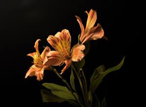 Hintergrundbilder Inkalilien Schwarzer Hintergrund Drei 3 Orange Blumen