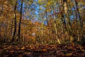 Hintergrundbilder Herbst Wälder Bäume Blattwerk Natur