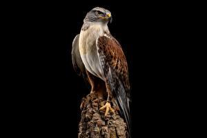 Fotos Vögel Habicht Schwarzer Hintergrund Baumstumpf ferruginous hawk Tiere