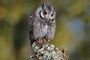 Fotos & Bilder Vögel Eulen Southern white-faced owl Tiere