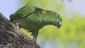 Fotos Vögel Papageien Grün Amazon Tiere