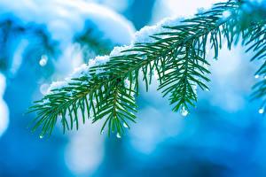 Fotos & Bilder Ast Schnee Tropfen Fichten Natur