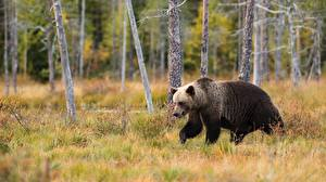 Picture Bears Brown Bears Grass