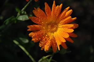 Hintergrundbilder Ringelblumen Großansicht Tropfen Orange Blüte