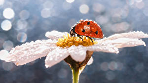Pictures Camomiles Ladybird Closeup Drops Animals
