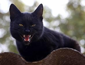 Bilder Katze Eckzahn Schwarz Starren Tiere