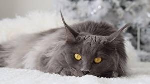 Desktop hintergrundbilder Katze Grau Starren Tiere