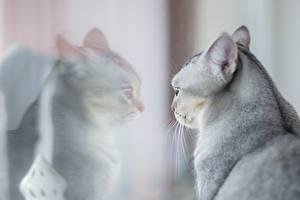 Fotos Katze Graue Kopf Spiegelung Spiegelbild Glas ein Tier