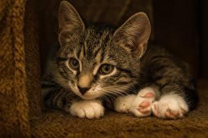 Fotos Katzen Kätzchen Liegen Pfote