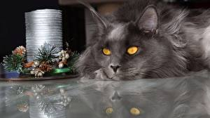 Pictures Cats Maine Coon New year Staring Grey Animals