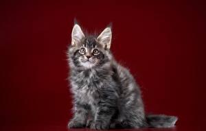 Bilder Hauskatze Maine Coon Kätzchen Blick Farbigen hintergrund Tiere