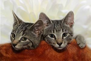Fotos Hauskatze Zwei Kätzchen Kopf Blick Tiere