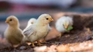 Bilder Hühner Küken Vögel Unscharfer Hintergrund Tiere