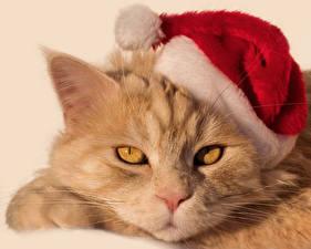 Fotos & Bilder Neujahr Katze Schnauze Mütze Tiere