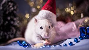 Wallpapers New year Rats Winter hat