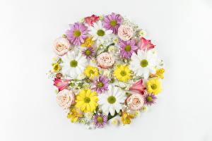 Hintergrundbilder Chrysanthemen Inkalilien Rosen Kamillen Weißer hintergrund Design Blüte